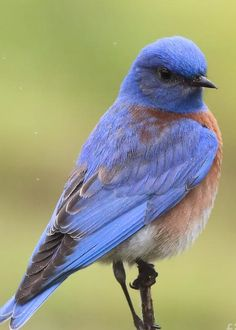Bluebird Greeting Card featuring the photograph Bluebird Of Happiness by Cheryl Gidding