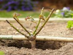 placing rose bush at proper depth in ground Evergreen Shrubs, Flowering Shrubs, Pink And Blue Flowers, Spring Flowers, Pruning Roses, Shade Shrubs, Burning Bush, Rose Bush, Plant Growth