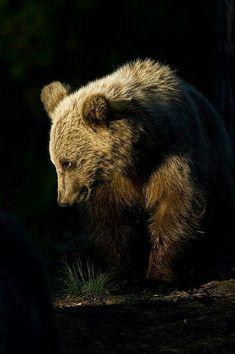 Shy Grizzly Bear!