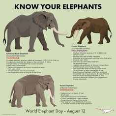 World Elephant Day! Learn something new today about the magnificent creatures Small Elephant, Asian Elephant, Elephant Love, Elephant Stuff, Elephant Meaning, Elephant Design, Beautiful Creatures, Animals Beautiful, Cute Animals