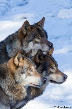 Eurasian Wolfs : Trio portrait... by Serge FONTAINE on 500px