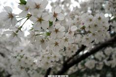 벗꽃-Cherry Blossom Tree-Sekech
