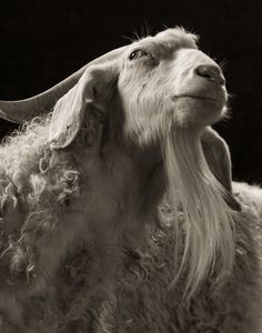 Artist takes professional portraits of sheep and goats and it's amazing