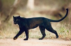 They say a leopard can't change its spots but I know one who can hide them. This melanistic leopard was at his best… Black Panther Cat, Jaguar Panther, Black Animals, Cute Animals, Wild Animals, Beautiful Cats, Animals Beautiful, Big Cat Species, Leopard Pictures