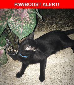 Is this your lost pet? Found in San Antonio, TX 78213. Please spread the word so we can find the owner!  Young black cat with gold/yellow eyes.  Near Braesview & Vista View St