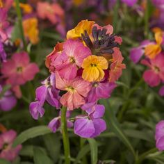 The first Erysimum hardy to Zone 5. This plant offers many multi-colored blooms with a backdrop of compact green foliage. It's a great choice for vibrant color in the early spring that extends into the heat of summer. From NGB member Syngenta Flowers NA Spring And Fall, Early Spring, Summer Garden, Home And Garden, Light Purple Flowers, Hardy Perennials, Grow Your Own, Garden Plants, Orchids