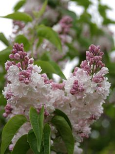 Lilac. Syringa vulgaris 'Beauty of Moscow'...will plant one of these with mme. lemoine (double white)  the most fragrant !!