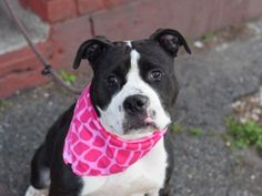 5/6 SUPER URGENT 5/6 LADY1 - A1071391 TO BE DESTROYED 05/06/16 ** EXPERIENCE RATED ** Lady is a beautiful two year old Pitty mix who arrived at the ACC with her now safe housemate Missy. Lady was surrendered due a landlord issue, but this dog has many attributes such as being crate trained, socialized with two cats, and lived with children. Lady's behavioral SAFER went well, but due to a reaction during the dog to dog testing staff feels she would be best in an experienced home with no other…
