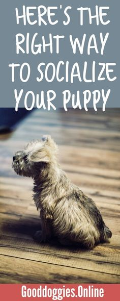 If you have a new puppy socialization is the most important thing you can teach your dog. Check out the puppy training tips. #puppy #socialization #training