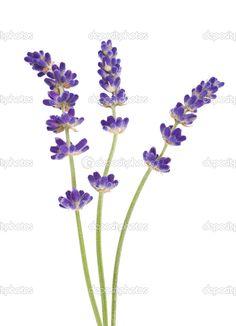 depositphotos_35102653-Lavender.jpg (739×1023)