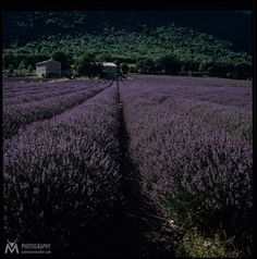 H13_Lavenderfield by Andreas Müller on 500px