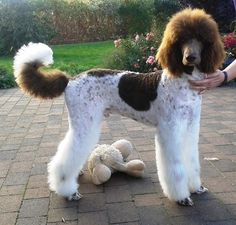 poodle dogs Oodles of Poodles : Photo - Dog Training Methods, Basic Dog Training, Dog Training Techniques, Poodle Grooming, Dog Grooming, Puppy Obedience Training, Positive Dog Training, Easiest Dogs To Train, Dog Behavior