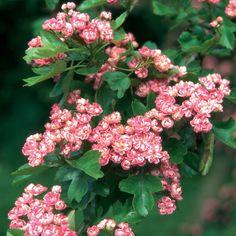 Crataegus Laevigata Rosea Flore Pleno | Crataegus laevigata 'Rosea Flore Pleno' Double Pink Hawthorn - 10 ...