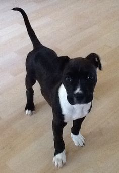 Adorable pit bull terrier/boxers mix