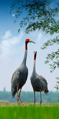 Red-headed crane - by hoangnamphoto