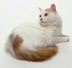 Turkish Van #cat. My favourite breed. I had one once... and hope to have another in the future.