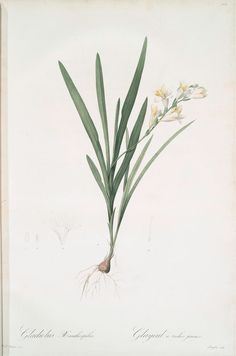Gladiolus Xanthospilus From New York Public Library Digital Collections.