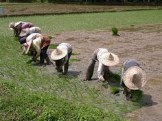 Rice Farming Communities~~~this makes by back ache~~~but, I do so love rice!!!