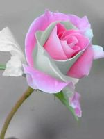 200 pz rosa peach rose seme. Giardino bellissimi fiori pianta