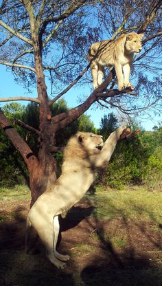 Lioness in a tree on my adventure to walk in the wild with lions at Botlierskop Private Reserve near Port Elizabeth Scary Animals, Cute Animals, I Love Cats, Big Cats, Beautiful Cats, Animals Beautiful, Port Elizabeth, Animal Kingdom, Lions
