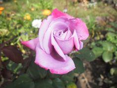 Роза ЧГ Парадиз Paradise, Небо в огне Burning Sky или Страсть Passion