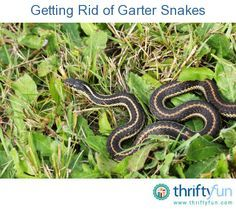 This is a guide about getting rid of garter snakes. Although these innocuous snakes are not poisonous, they can still be undesirable in a yard or garden. snakes or slugs?, snakes or slugs? Never mind. Garden Bugs, Garden Pests, Lawn And Garden, Snake Repellant, Keep Snakes Away, Snake In The Grass, Pest Solutions, Weed Control, Gardens