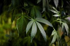 Canada's Aurora Cannabis to buy CanniMed for $852 million CanniMed shareholders can choose a combination of stocks and cash, although the maximum cash available will be C$140 million, the companies said in a statement. By buying CanniMed, Aurora is seeking to bolster its capacity to meet domestic demand, as ...