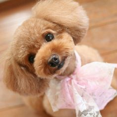 Do they come any cuter than this? #toypoodle