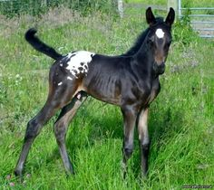 colt foal - Ad Horse UK. Horses for sale
