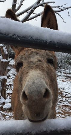 Cleo Burro ~ Only Donkeys, Snow in Sedona, AZ