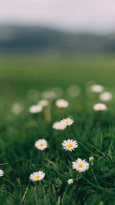 Plant, grass, flower and daisies Art Floral, Calming Pictures, Daisy Wallpaper, Grass Flower, Beautiful Nature Wallpaper, Flower Aesthetic, Natural Scenery, Wild Flowers, Daisy Flowers