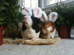 Guinea Pig Bunnies