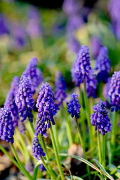 10 Gorgeous Ways to Design With Spring Bulbs in Your Garden Garden Bulbs, Garden Soil, Shade Garden, Spring Flowering Bulbs, Spring Bulbs, Types Of Blue Flowers, Yellow Flowers, Organic Gardening, Gardening Tips