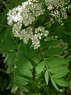 Rowan, Sorbus aucuparia - Trees and shrubs - NatureGate English Flowers, Moon Garden, Trees And Shrubs, Medicinal Plants, Rowan, Finland, Outdoor Gardens, Wild Flowers, Natural Beauty