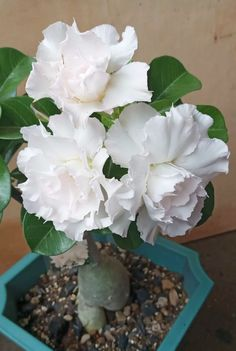 Beautiful Fruits, Beautiful Flowers Garden, Rare Flowers, Amazing Flowers, Beautiful Gardens, White Flowers, Desert Rose Plant, Different Kinds Of Flowers, Plantas Bonsai