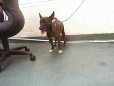 GINA (A1646098) I am a female brown brindle Terrier.  The shelter staff think I am about 7 months old.  I was found as a stray and I may be available for adoption on 09/25/2014. — hier: Miami Dade County Animal Services. https://www.facebook.com/urgentdogsofmiami/photos/pb.191859757515102.-2207520000.1411328456./842571205777284/?type=3&theater
