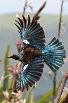 Tui. Adult in flight (note flax pollen on forehead). Pauatahanui Inlet, December 2012. Image © David Brooks by David Brooks