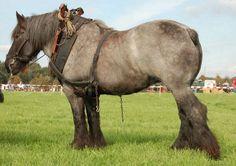 Dutch Heavy Draft horse | PetMapz
