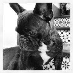 Bruto at home. French bulldog