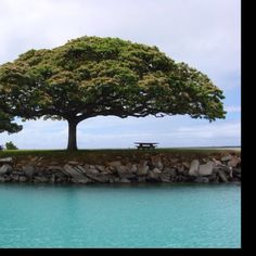 I love this tree at Hickam on Oahu