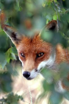red fox through trees | animal + wildlife photography
