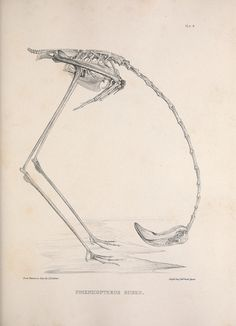 Osteologia avium, or, A sketch of the osteology of birds /. [Wellington] :Published by R. Hobson, Wellington, (Flamingos have to drink water with their heads upside-down) Illustration Botanique, Illustration Art, Girl Illustrations, Sibylla Merian, Animal Skeletons, In Natura, Mundo Animal, Art Graphique, Skull And Bones