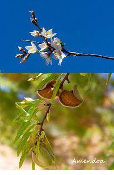 """Amendoeira sua florada e fruto. A amendoeira é um membro da família """"prunus"""", assim como o pêssego, o damasco e a ameixa. Essas são chamadas frutas de caroço, uma vez que possuem um caroço como semente. Você pode observar que uma amêndoa se parecesse com o caroço de um pêssego. A amendoeira é uma árvore que chega aos 6 metros de altura, dá flores rosa claro no final do inverno ou começo da primavera, e amêndoas saudáveis e saborosas no verão."""