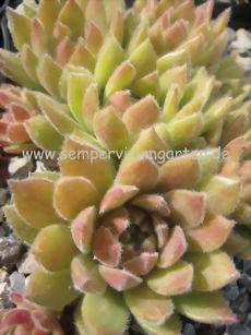 Sempervivum Piccino