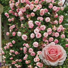 Pearly Gates™ Climbing Rose Zones 4-9. Bareroot. Rosa 'WEKmeyer' PP10640.