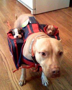 Puppy backpack! Pitbull ❤
