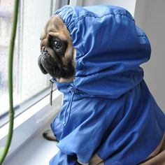 Ready for the rain, lil puggy?
