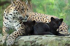jaguar Rica with cubs artis - safi kok Beautiful Cats, Animals Beautiful, Big Cats, Cats And Kittens, Baby Jaguar, Amazing Beasts, Baby Animals, Cute Animals, Jaguar Leopard