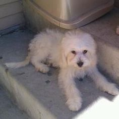 "Oliver, Maltese/Poodle. We just got one of these (""Rosie"") from a pet rescue group. She is identical to this one!"