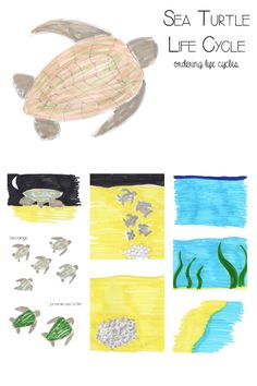 Learning about the sea turtle life cycle with picture cards to download and print to order and help prompt discussion. - FREE sea turtle resource for kids.